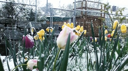 Snow falling on spring flowers in month april