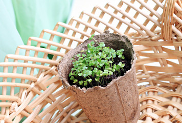 Fresh young seedlings in pot and straw basket