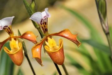 Lady slipper Paphiopedilum villosum