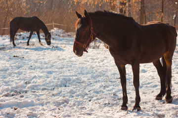 Beautiful chestnut horses in snowy field. Russian winter.