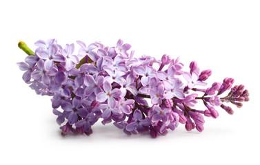 Spring flower twig purple lilac.