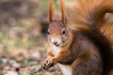 Eichhörnchen lacht