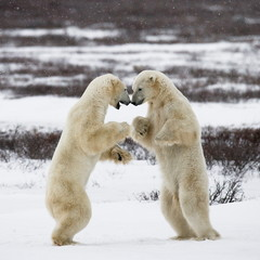 Polar bears in the polar Canada