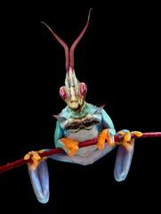 Mantis Frog