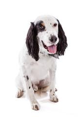 English Setter Dog Portrait