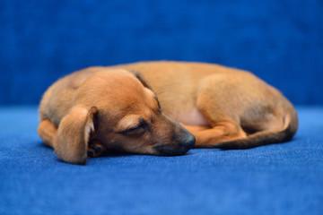 Dachshund puppy on a blue background
