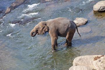 Drinking Elephant in Lake