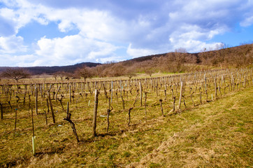 vineyard in spring time
