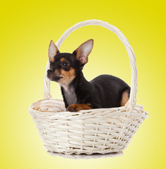 adorable Chihuahua puppy on Yellow background
