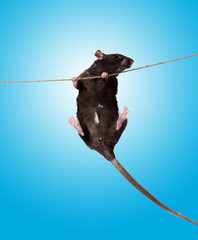 rat clutching at rope on blue background.