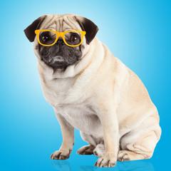 pug dog on a blue background
