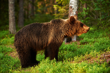 Brown bear in a fantastic light
