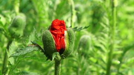 Single Poppy Bud Blossoming
