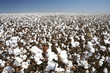 Leinwanddruck Bild - cotton field