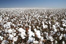 """Постер, картина, фотообои """"cotton field"""""""