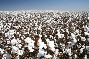 cotton field © Casa da Photo