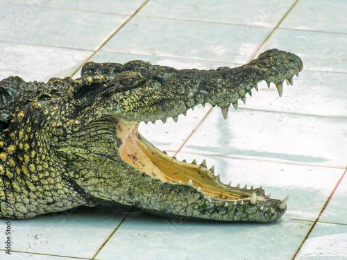 Fotobehang Krokodil Krokodile in thailand