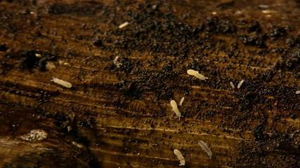 Termites On Wood Close Up 15x