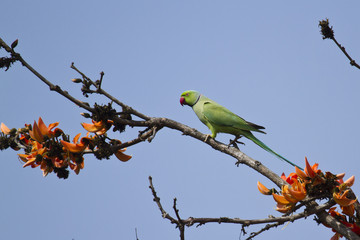Rose-ringed parakeet. in Bardia, Nepal