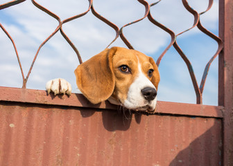 Beagle dog looking through gate