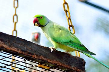 Green Indian Ring-necked Parakeet eating a corn.