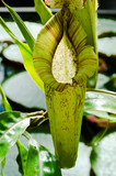 Pitcher plant is a carnivore creature - 79534590
