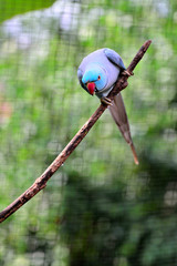 Indian Ring-necked Parakeet standing on the branch