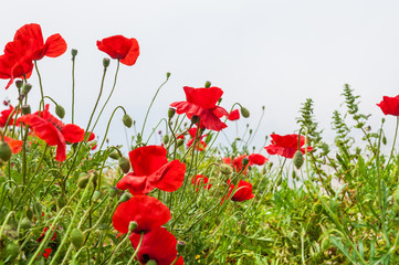 Field with a beautiful red poppy flowers