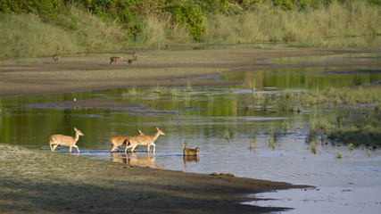 Spotted deer and rhesus macaque crossing river in Bardia, Nepal