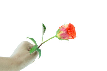 Hand hold orange rose isolated on white
