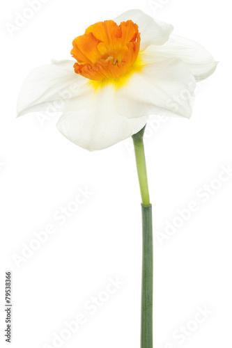 Poster Narcis daffodil