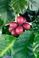 Coffee cherries with water drops