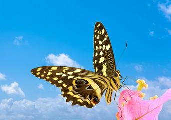 papillon sur bougainvillée fond ciel