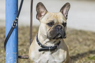 Bulldogge
