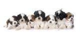 puppies shih tzu - 79542907