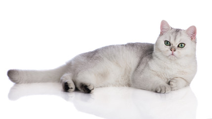 grey british shorthair kitten lying down on white