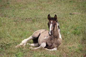 Horse Foal laying down