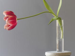 The tulip is  flowers in the genus Tulipa,