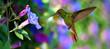 Hummingbird (archilochus colubris) in Flight over Purple Flowers