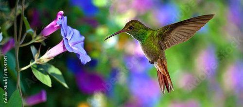 Fotobehang Vogel Hummingbird (archilochus colubris) in Flight over Purple Flowers