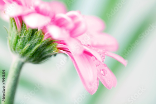 Blume pink - 79548504