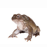 The Colorado River or Sonoran Desert toad on white poster