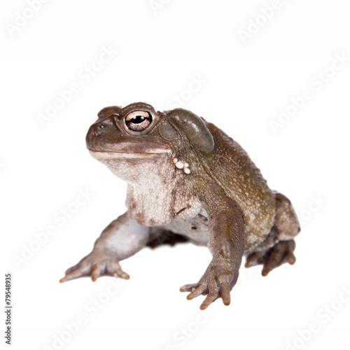 Fotobehang Kikker The Colorado River or Sonoran Desert toad on white
