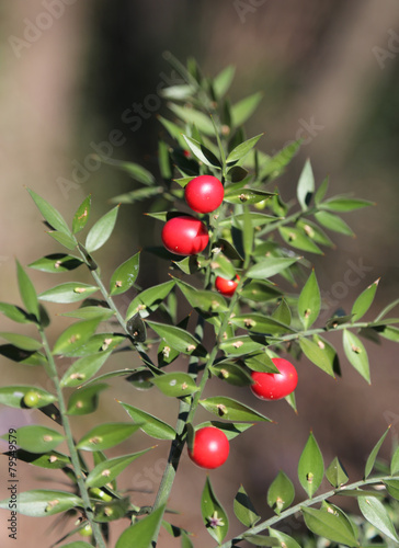 Red Holly berries and spiny leaves - 79549579