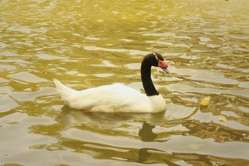 A white swan swimming in the pond.
