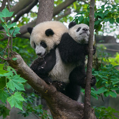 Cute young panda bears playing in tree