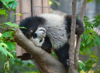Playful panda in tree