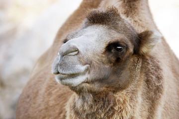 Cute Bactrian camel