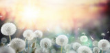 field of dandelion in sunset - bokeh and allergy poster