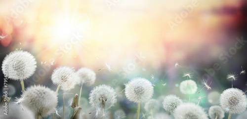 Foto op Canvas Bloemen field of dandelion in sunset - bokeh and allergy